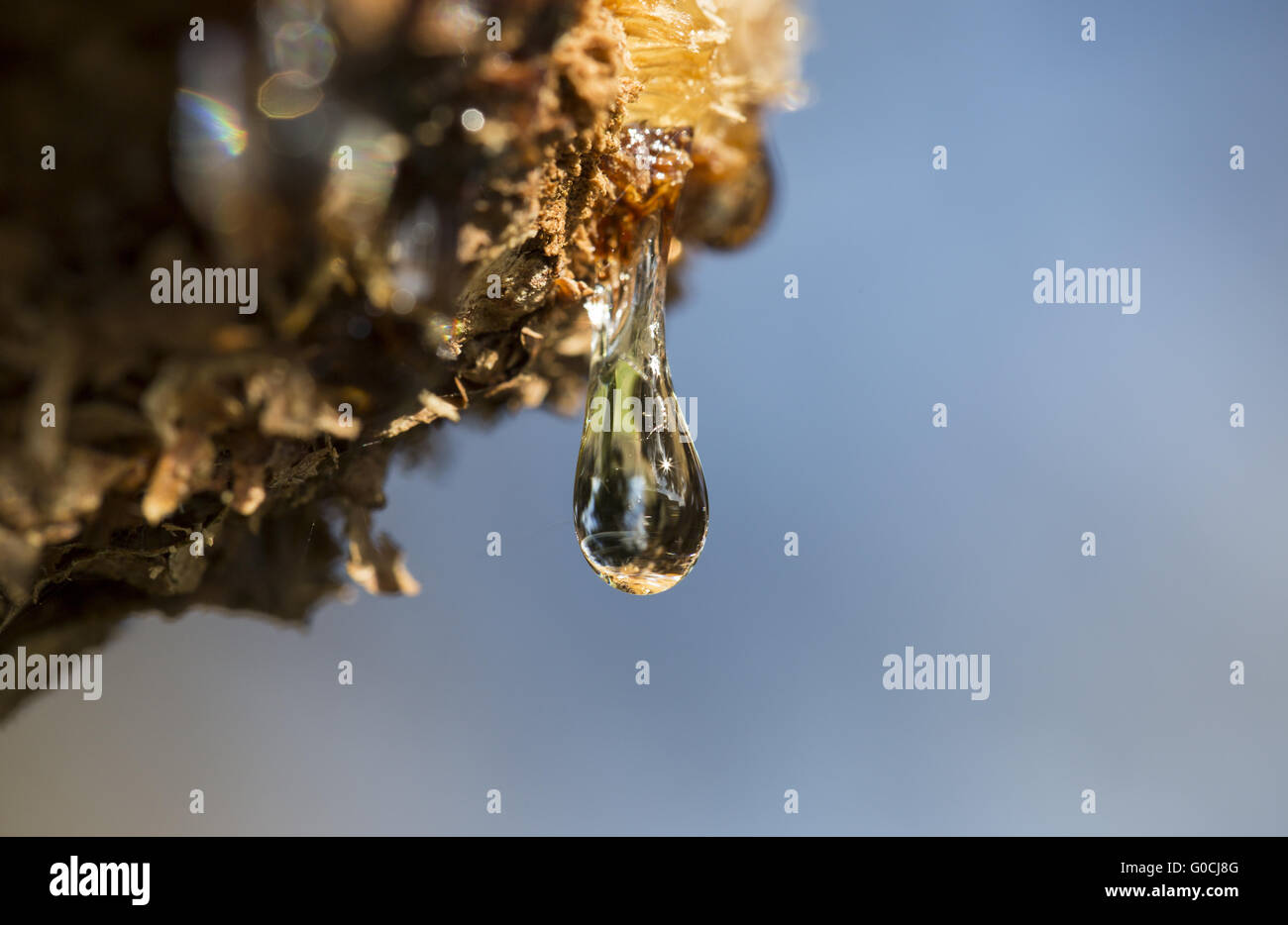 Tears of Trees - Stock Image