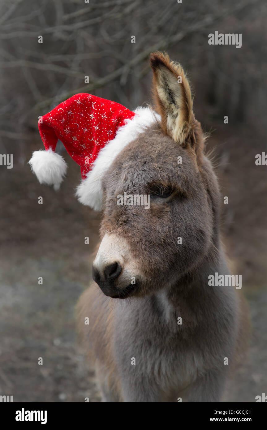Santa Donkey - Stock Image