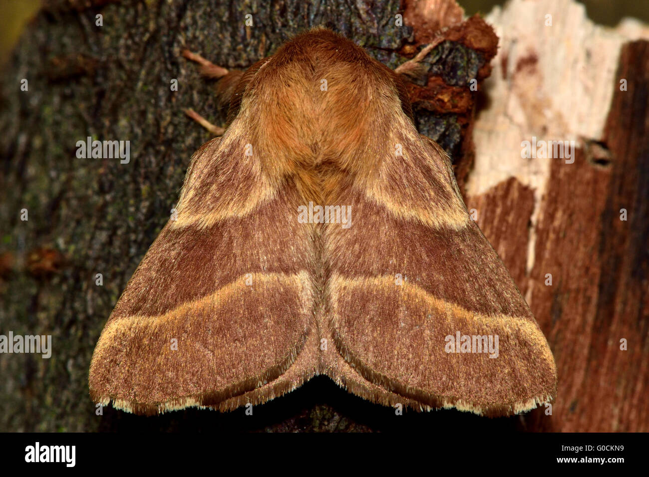 The lackey moth (Malacosoma neustria) from above. Distinctive moth in the family Lasiocampidae, at rest - Stock Image
