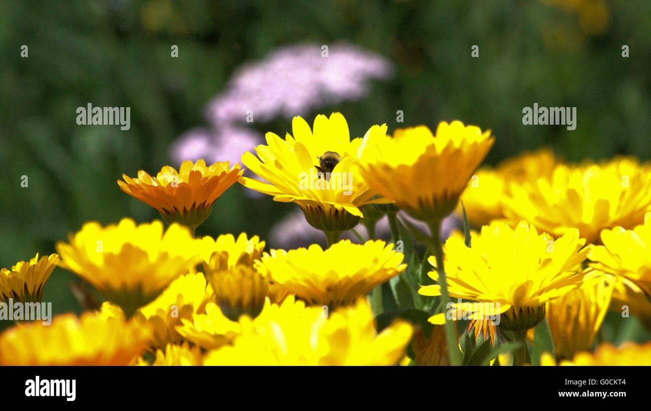 flower meadow - Stock Image