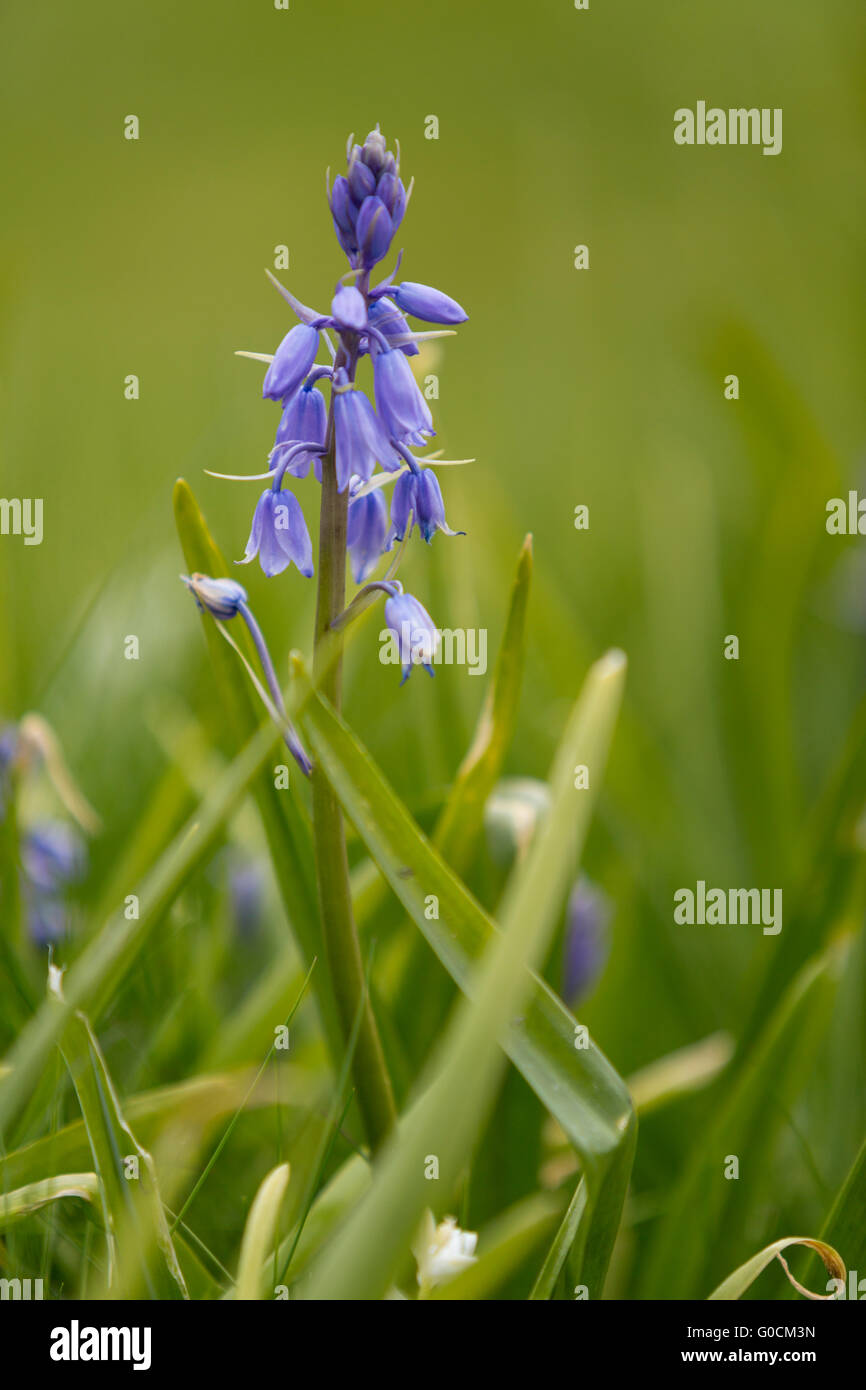 Spanish Bluebell in field - Stock Image