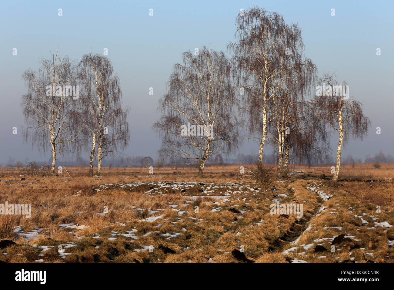 Winter fen landscape with birch trees, Bavaria Stock Photo
