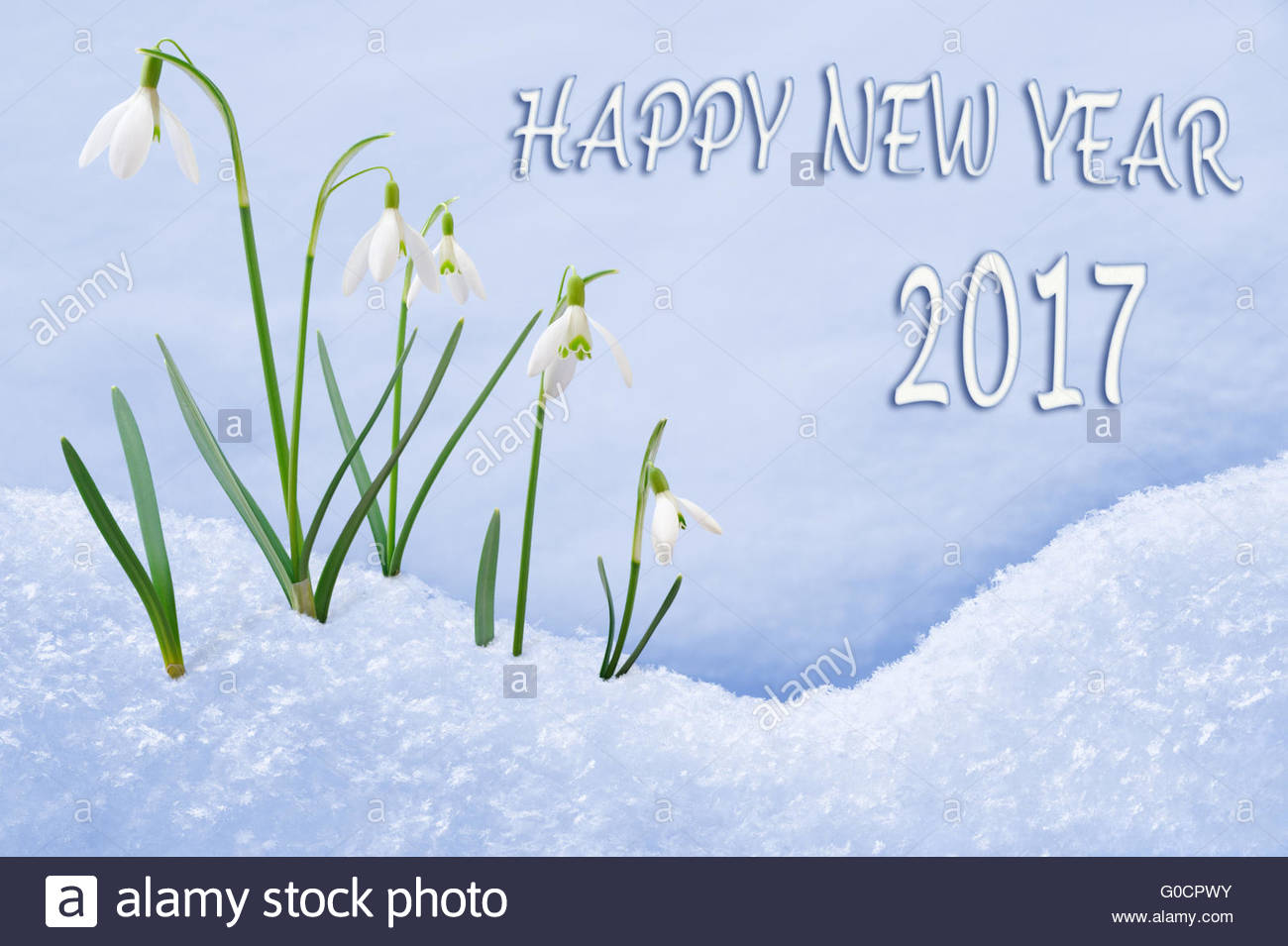 New Year 2017 Greeting Card Group Of Snowdrops Happy New Year Text