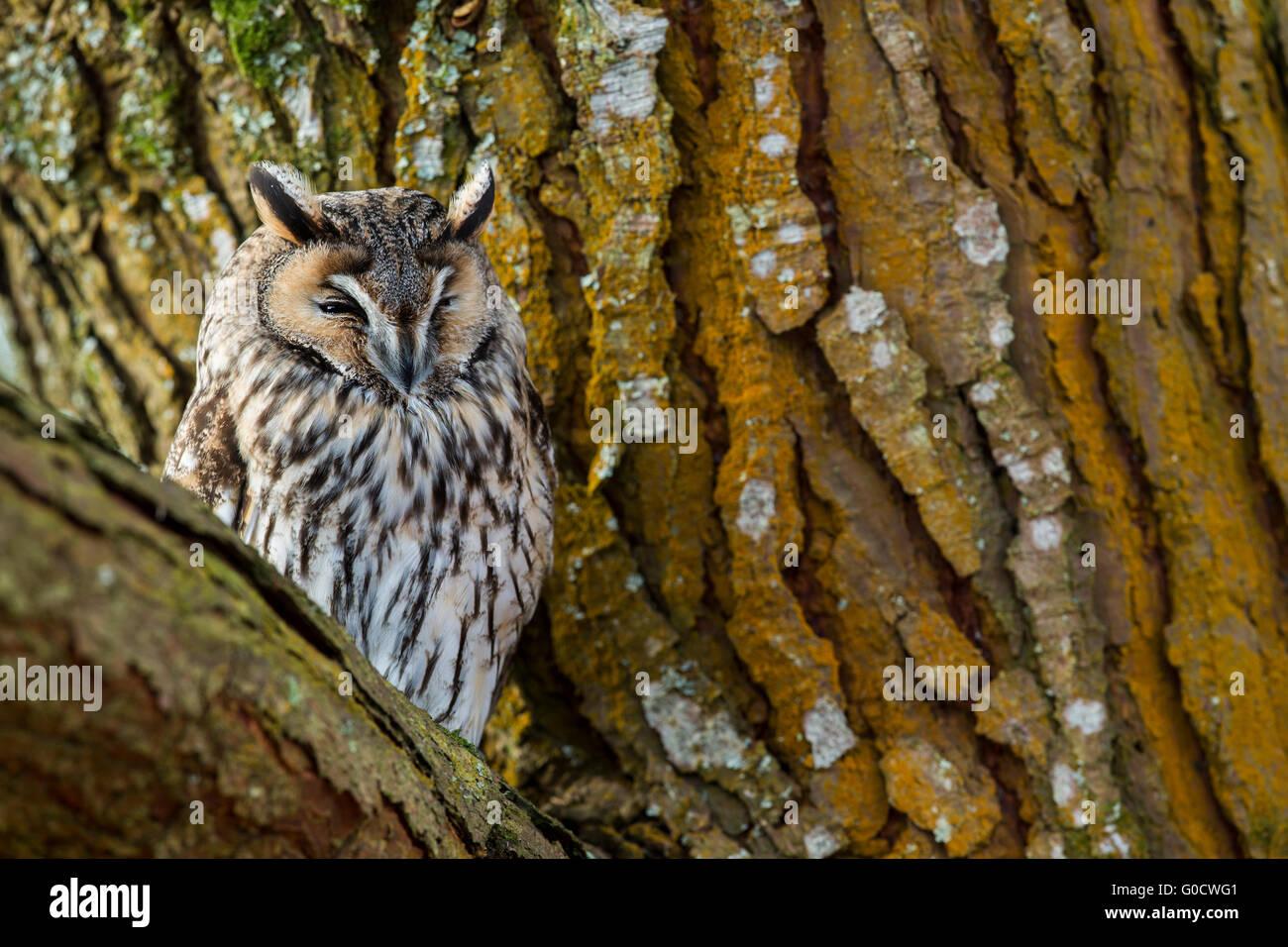 Long Eared Owl; Asio otus Single in Tree Cornwall; UK - Stock Image