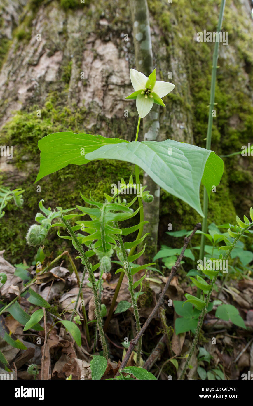 Trillium and Ferns with Mossy background - Stock Image
