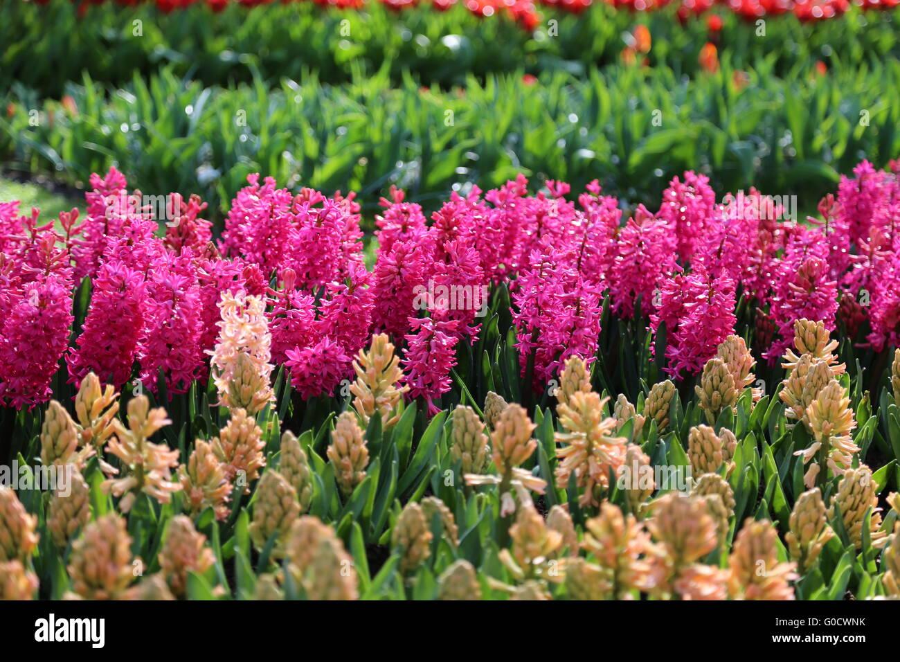 Pink hyacinths - Stock Image