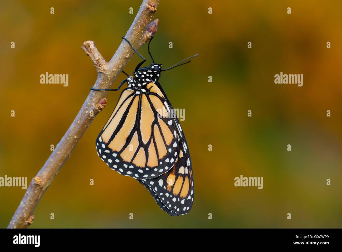 Monarch Butterfly ; Danaus plexippus Single UK - Stock Image