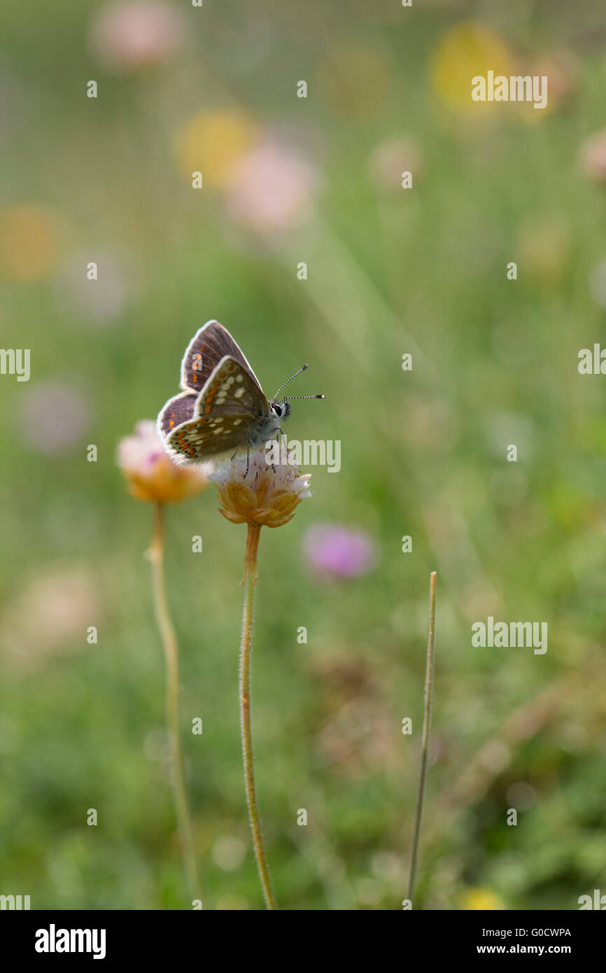 Northern Brown Argus Butterfly; Aricia artaxerxes Single on Flower Scotland; UK - Stock Image