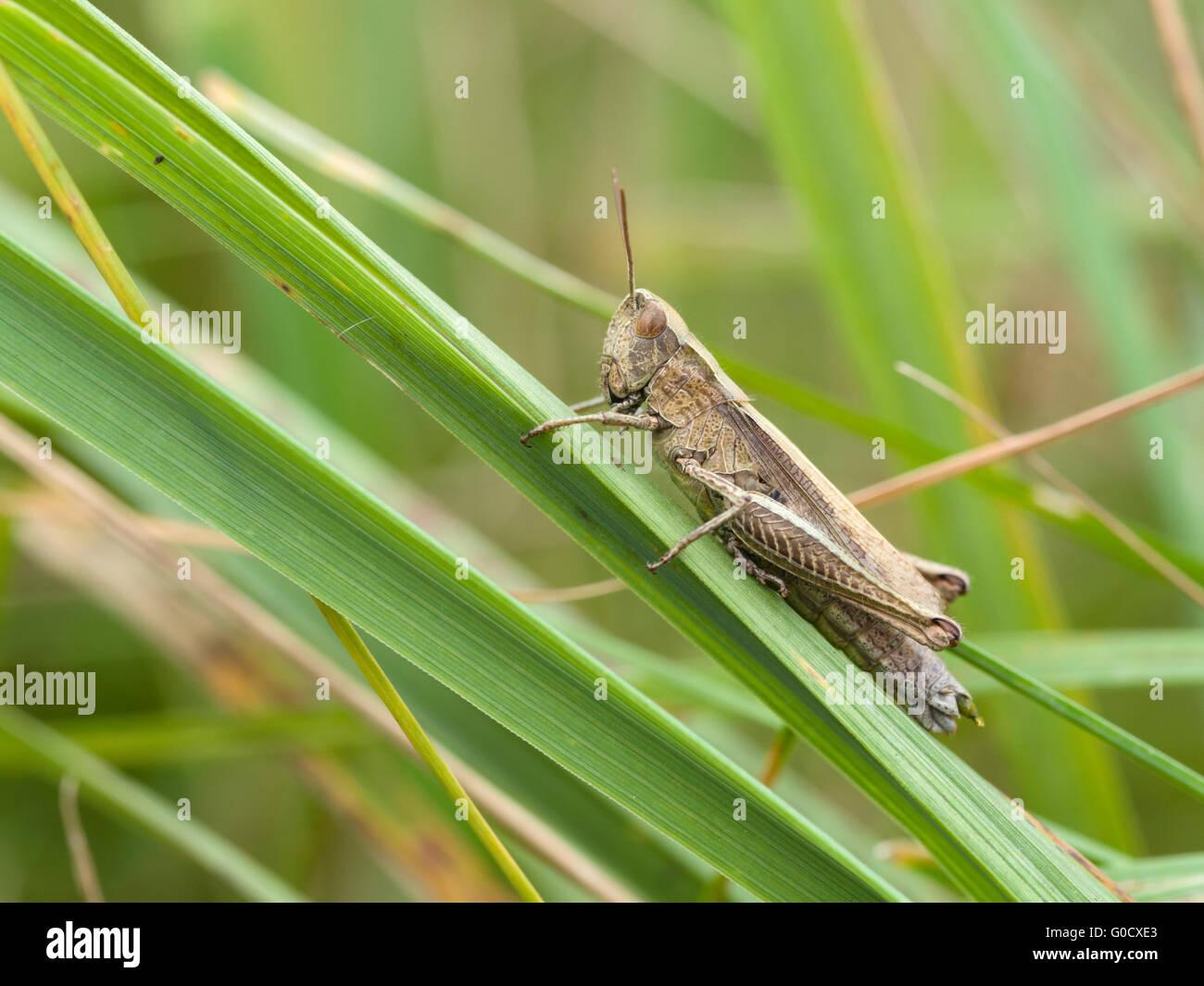 common field grasshopper (Chorthippus brunneus) - Stock Image