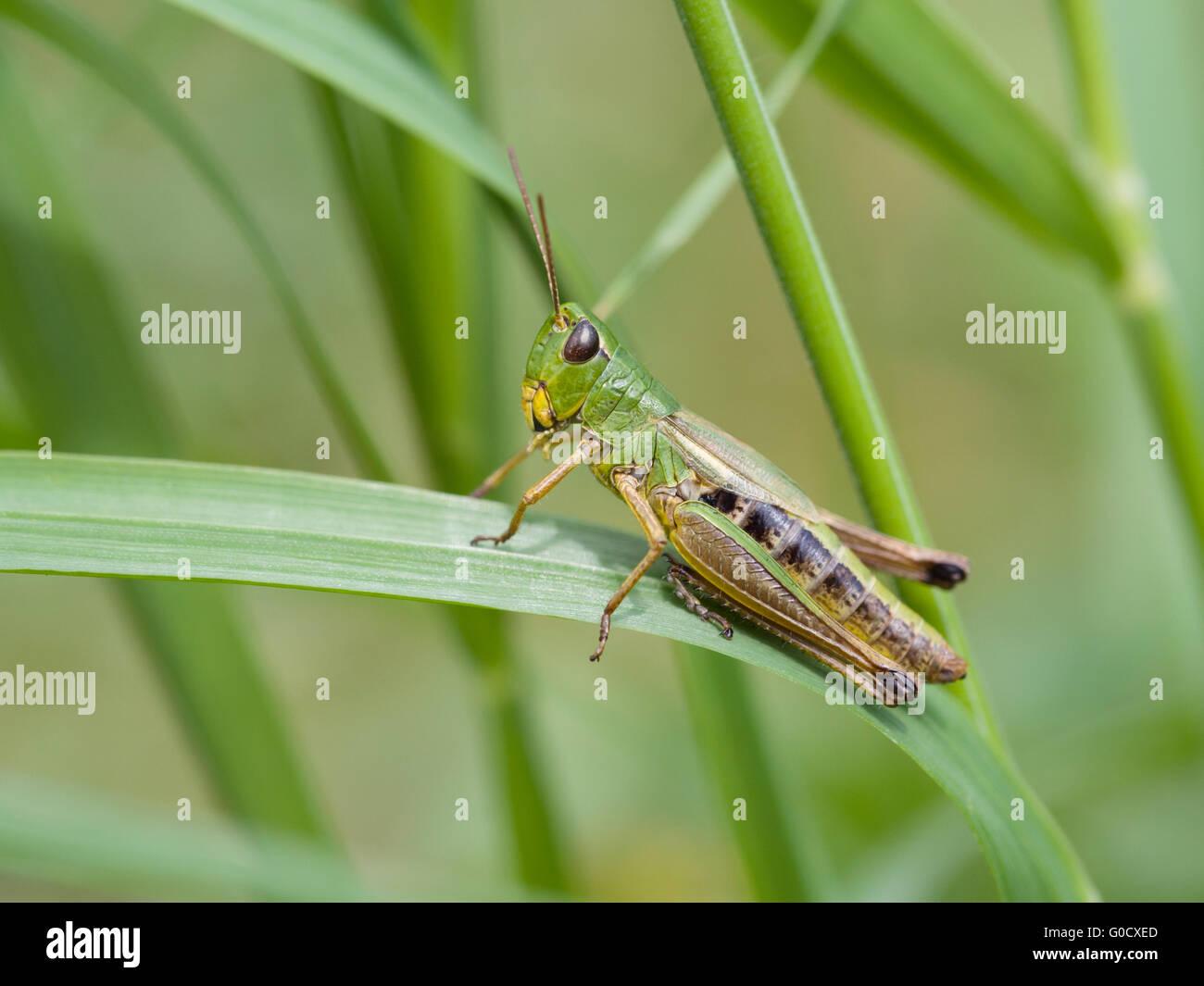 Meadow Grasshopper (Chorthippus parallelus) - Stock Image