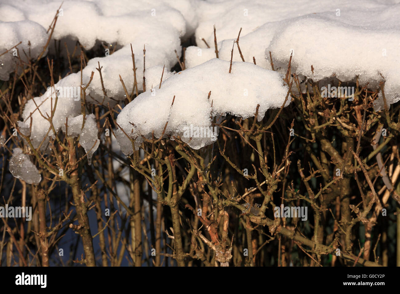 Snow on shrubbery - Stock Image