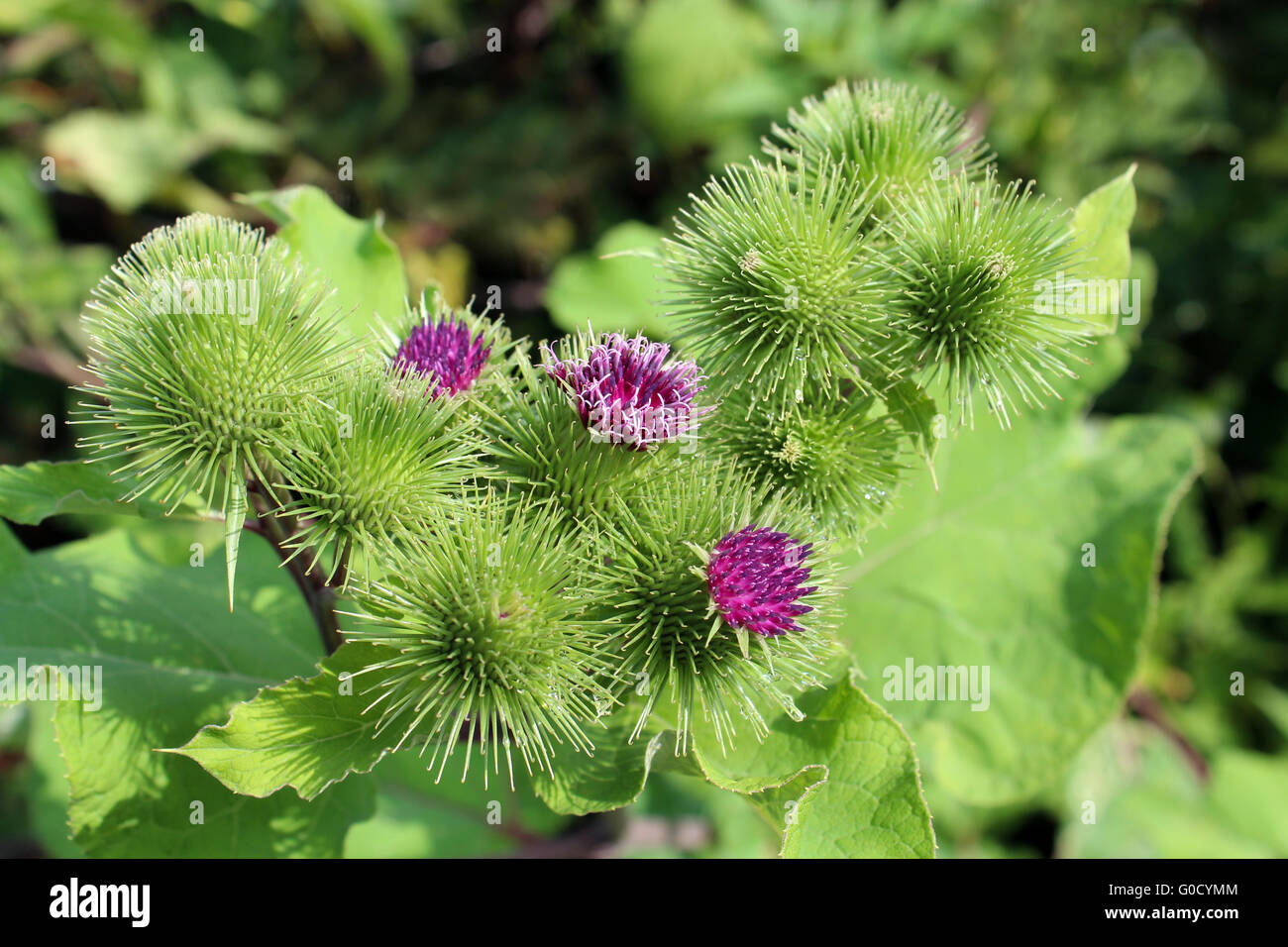 pink flowers of prickles of a burdock - Stock Image