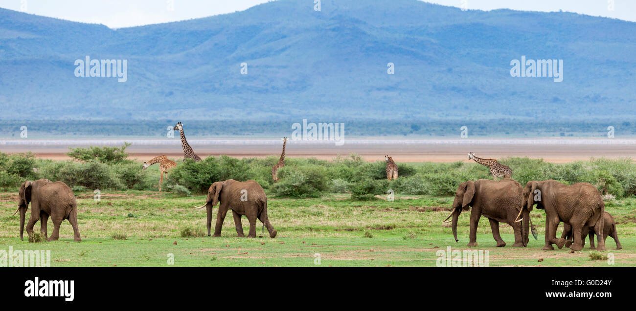 Elephants and giraffes on the savanna, Lake Manyara National Park, Tanzania, East Africa - Stock Image