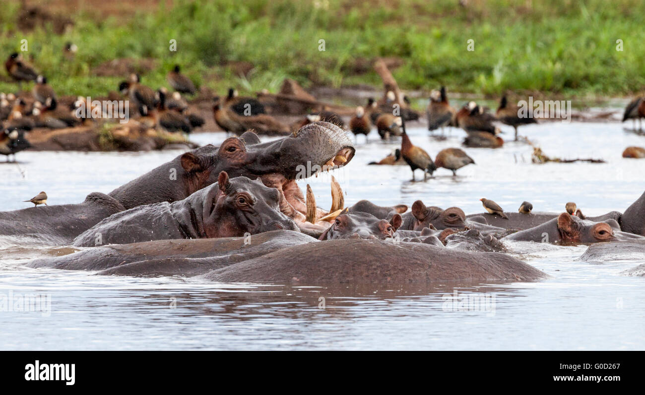 Group (bloat) of hippos in a pond at Lake Manyara National Park, Tanzania, East Africa - Stock Image