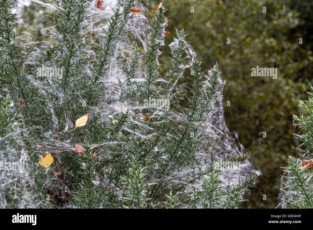 Spiders webs through pine needles Gartmorn forest Scotland - Stock Image