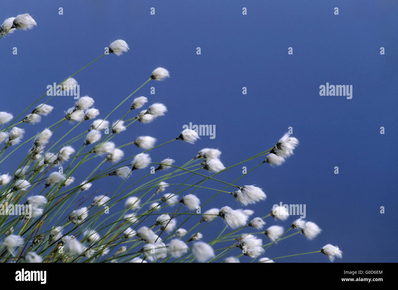 Tussock Cottongrass with water in the back - Stock Image