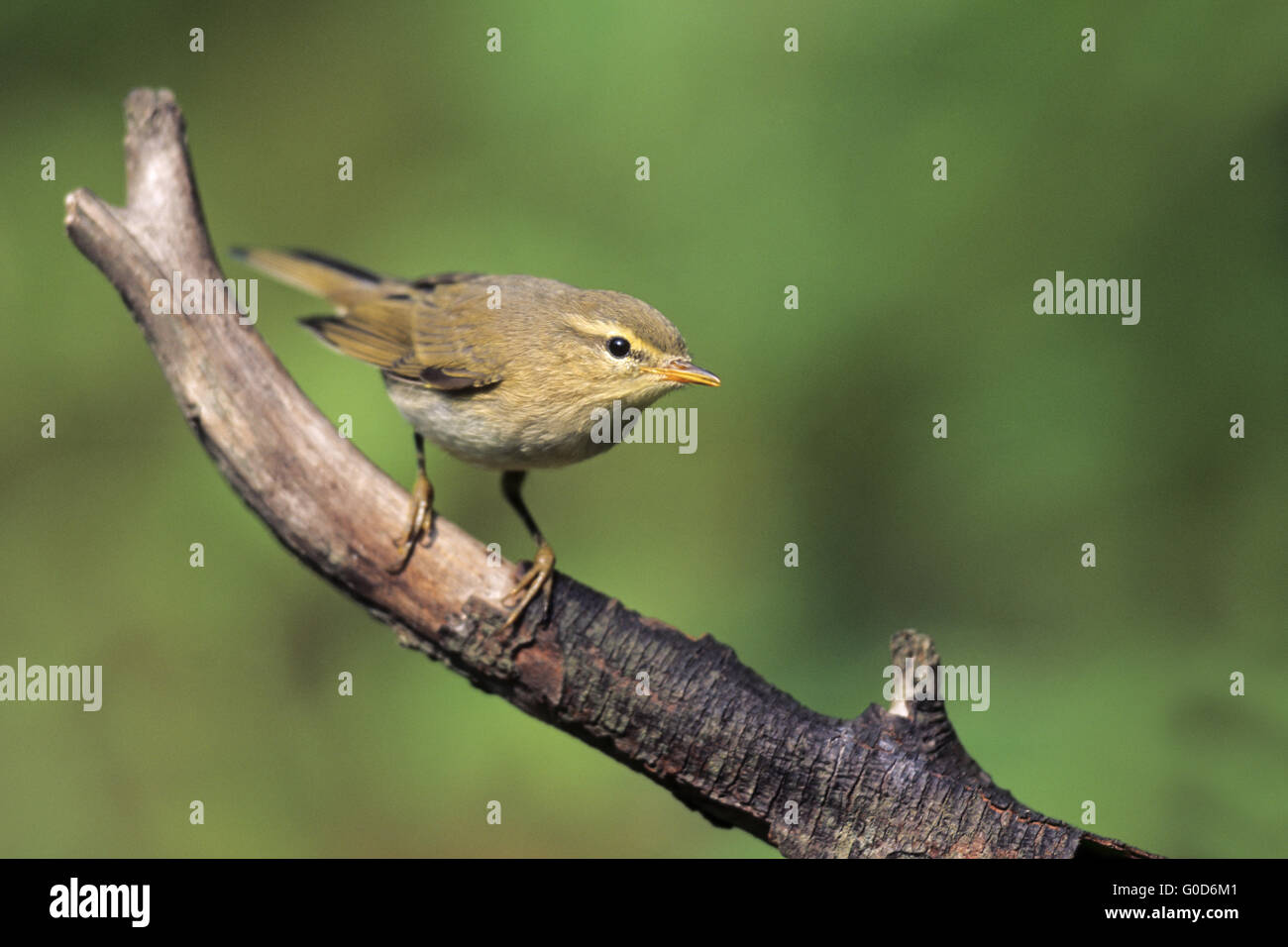Chiffchaff adult bird sits on a branch - Stock Image
