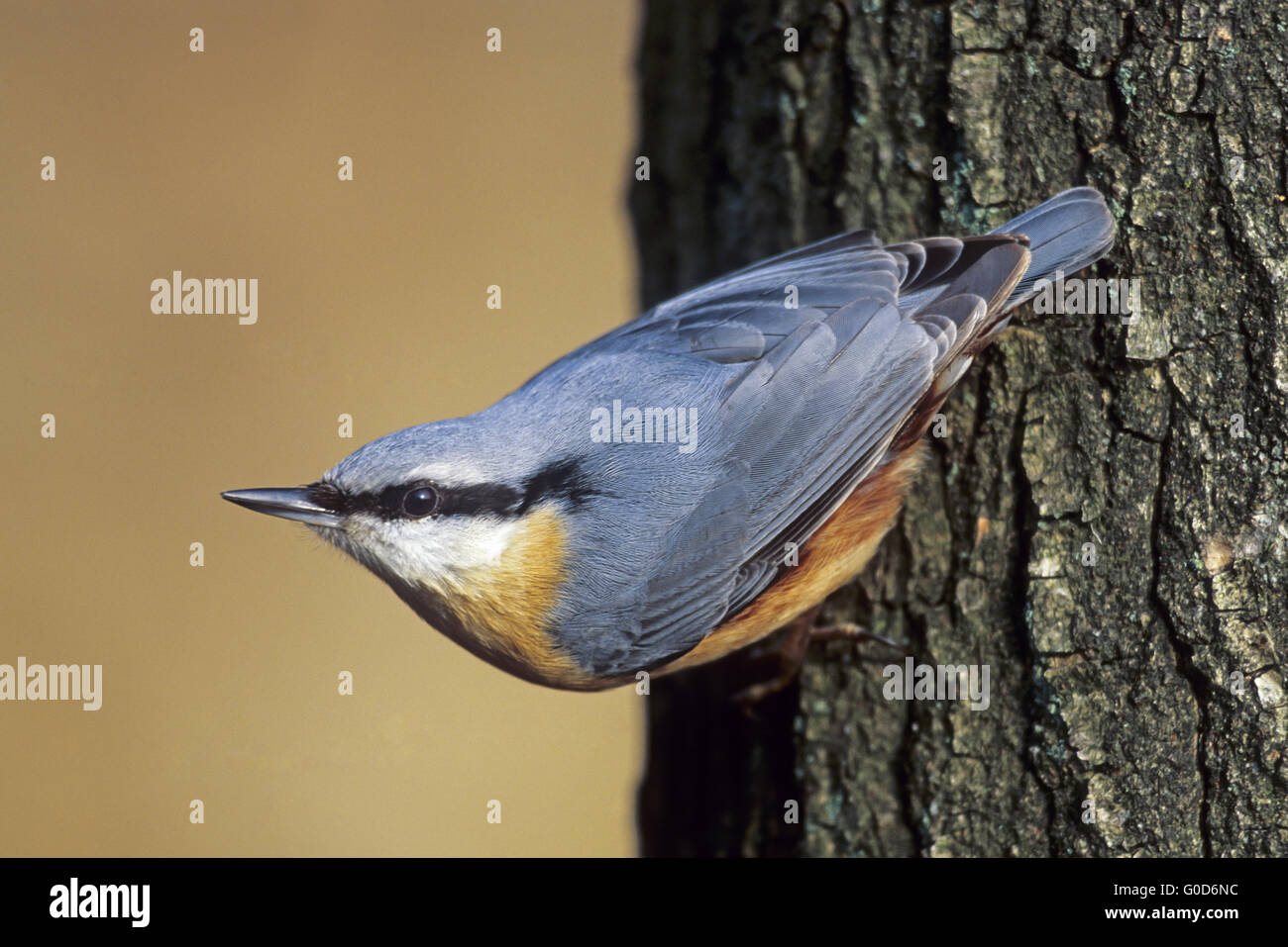 Eurasian Nuthatch adult bird sits on a tree stub - Stock Image