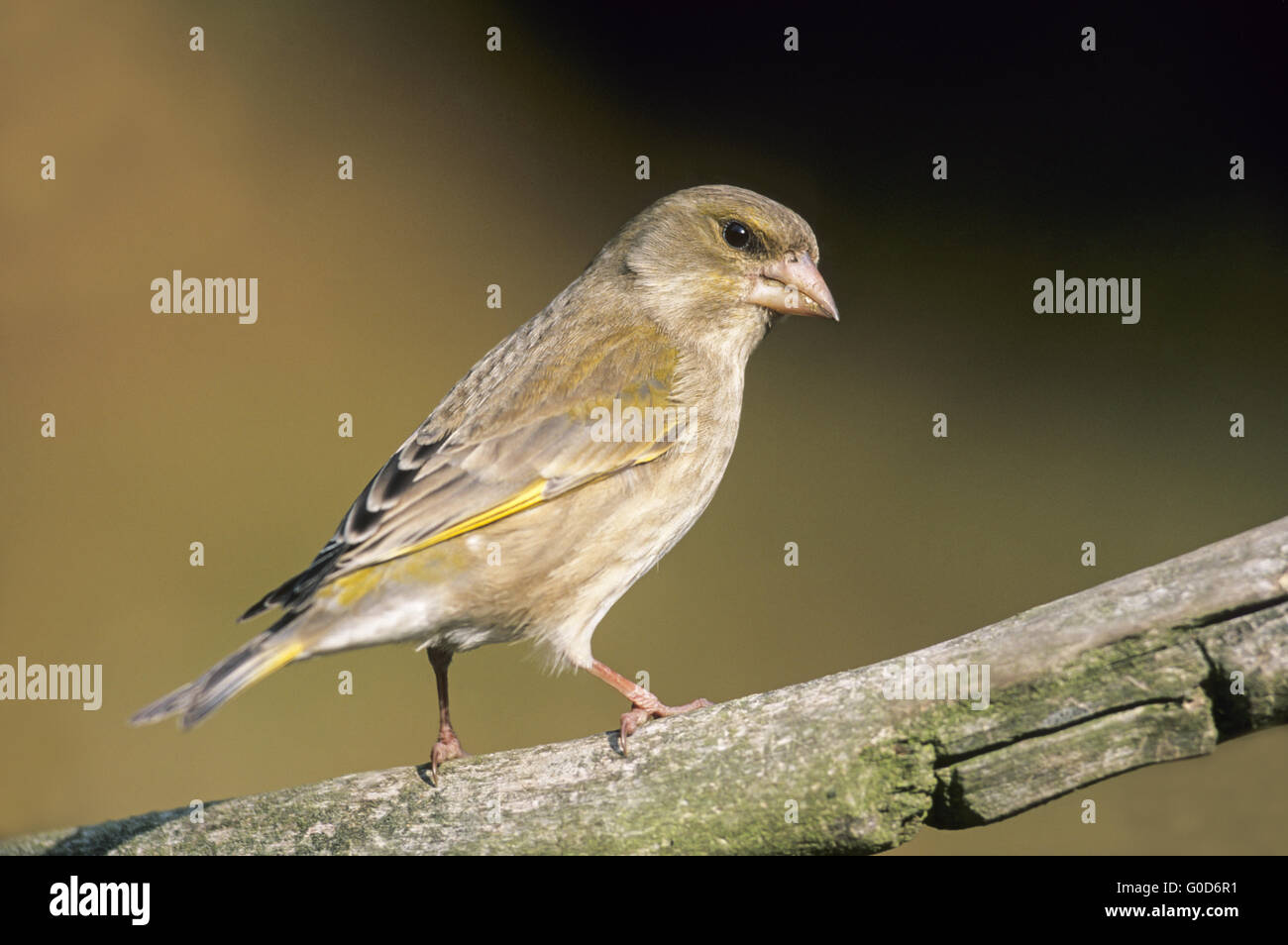 Greenfinch adult female sits on a branch - Stock Image