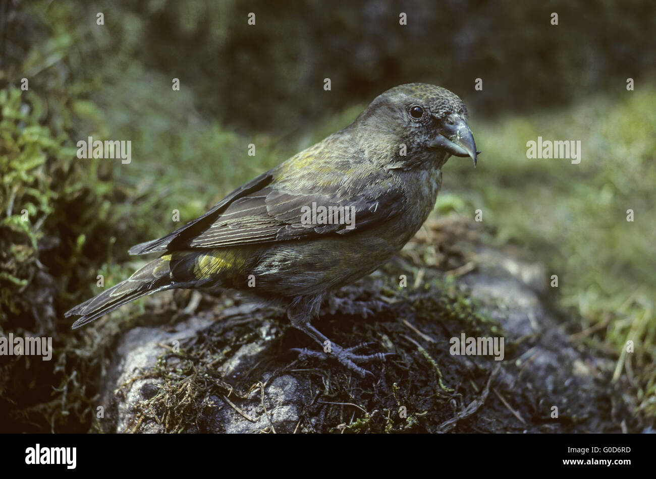 Red Crossbill adult female sits on a stone Stock Photo