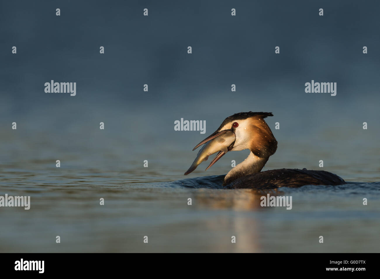 Great crested grebe Hungary - Stock Image