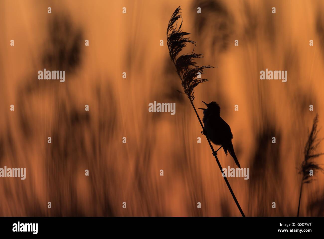 Warbler Hungary Stock Photo