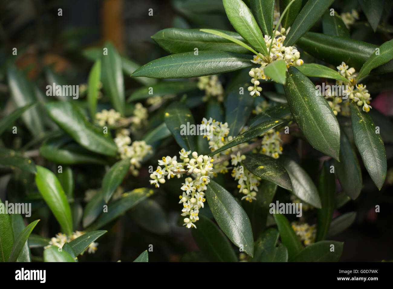 blooming olive tree Stock Photo
