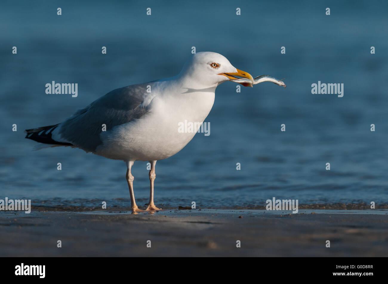 European herring gull Heligoland - Stock Image