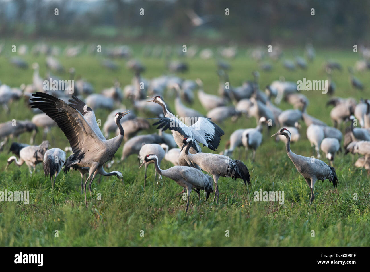 Common cranes from Germany Stock Photo