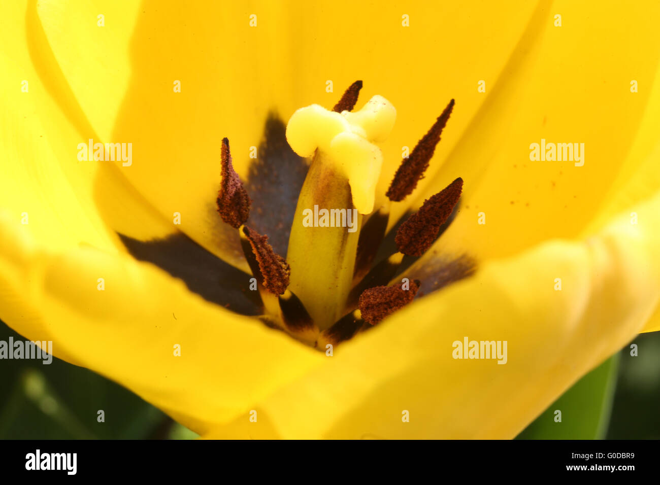 Tulip Makrofoto - Stock Image