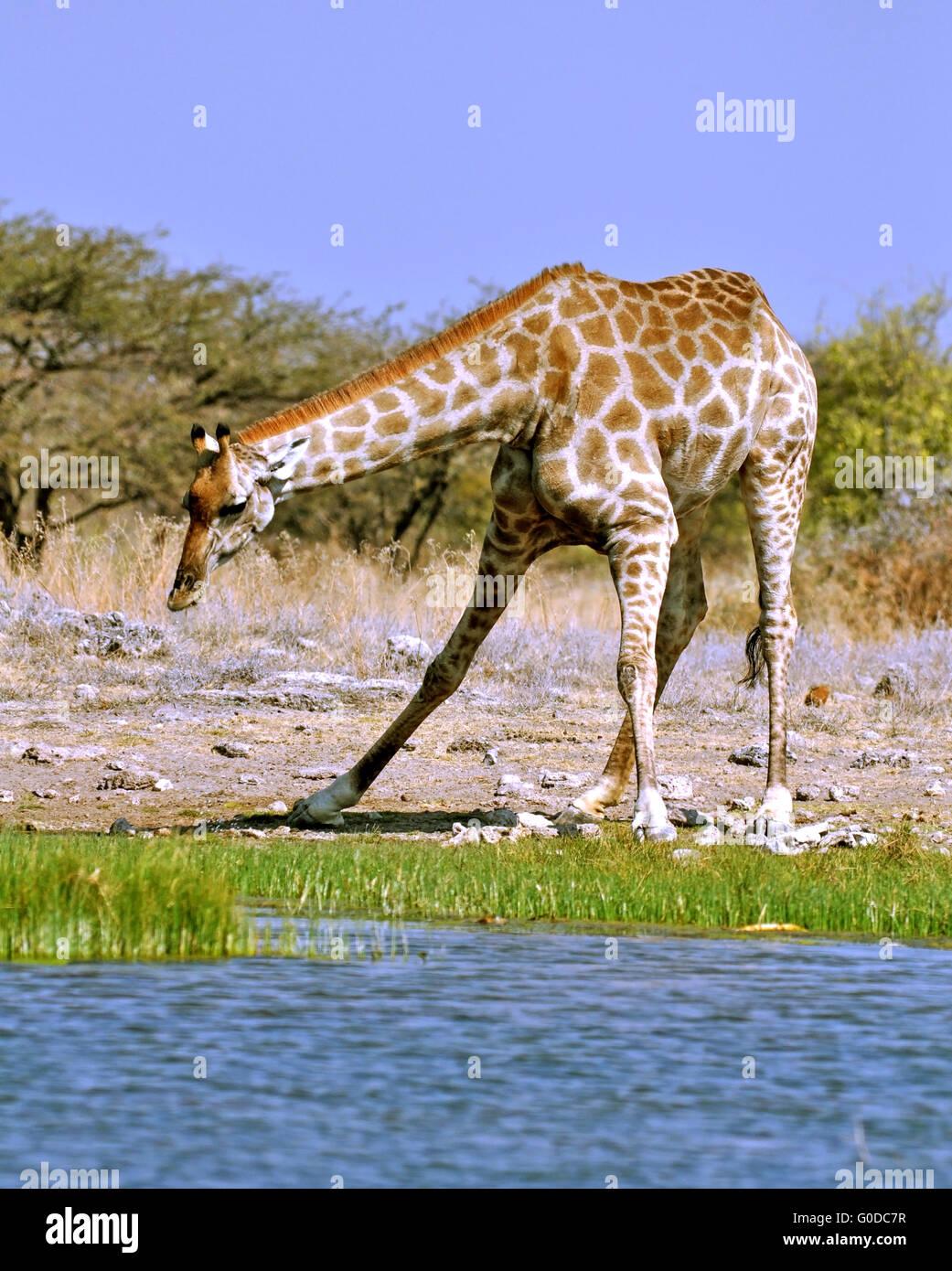 Giraffe drinking - Stock Image