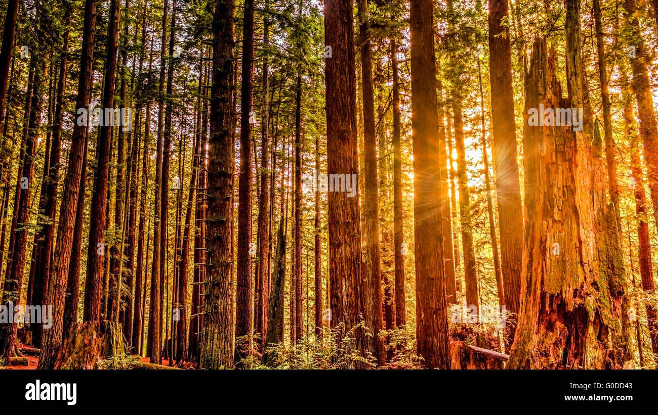 Redwoods - Stock Image