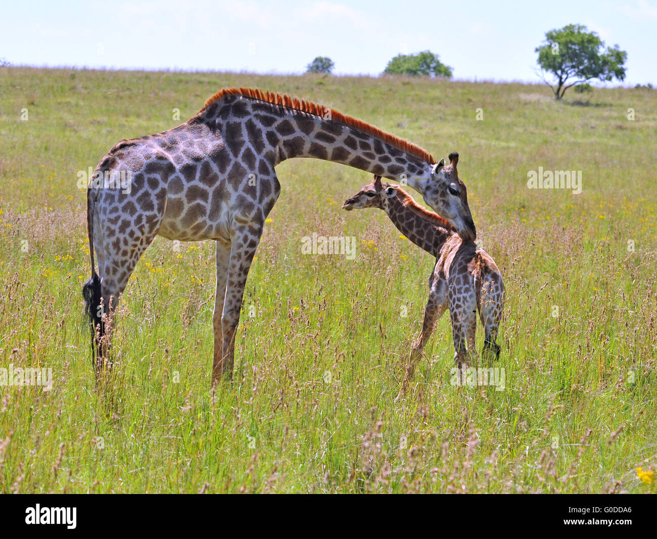 Female Giraffe in Africa with a calf. - Stock Image
