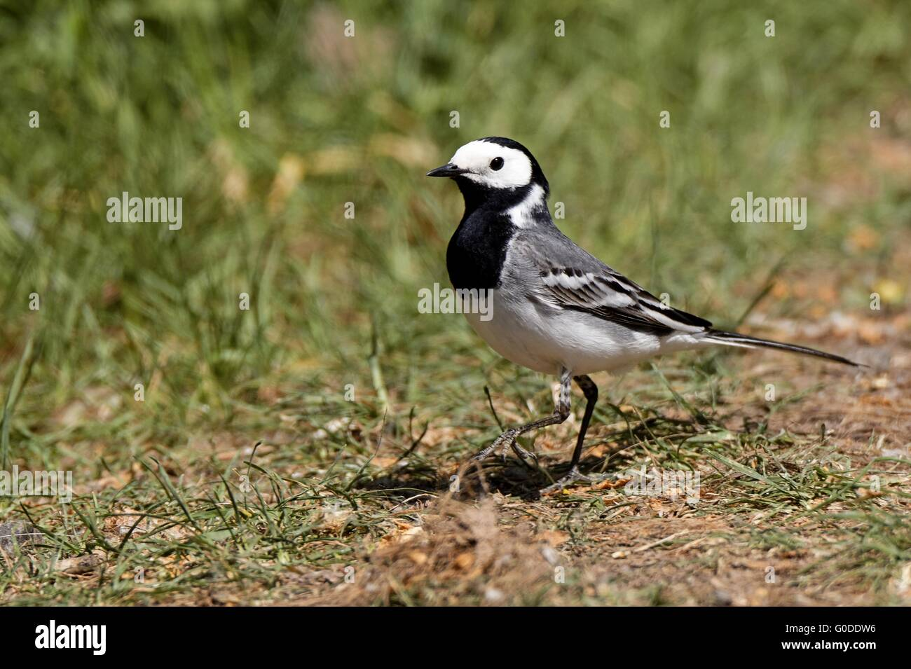white wagtail - Stock Image