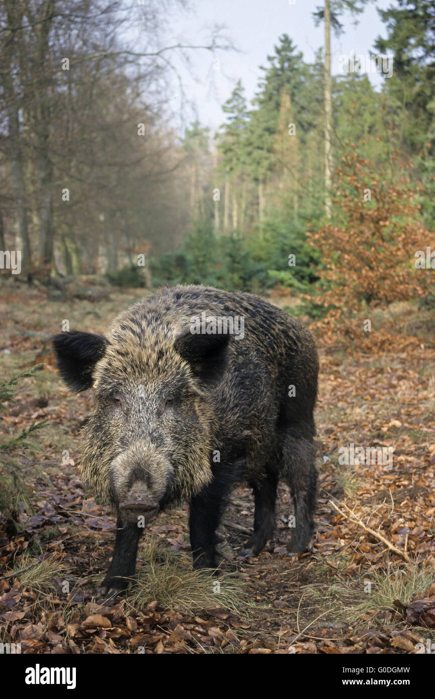 Wild Boar sow searches food at a forest edge - Stock Image