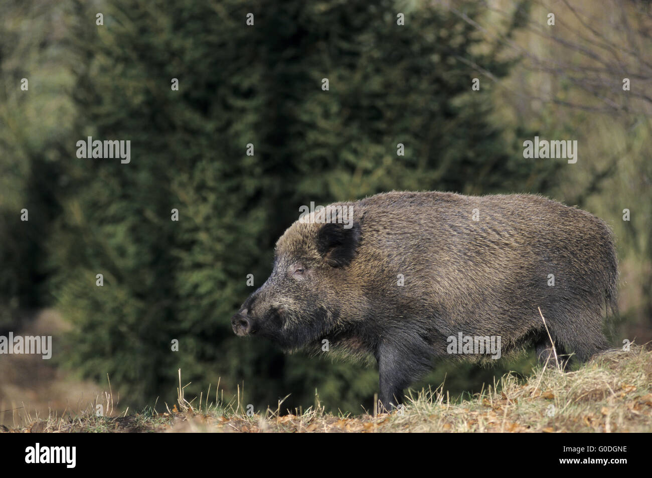 Wild Boar sow searches food at forest edge - Stock Image