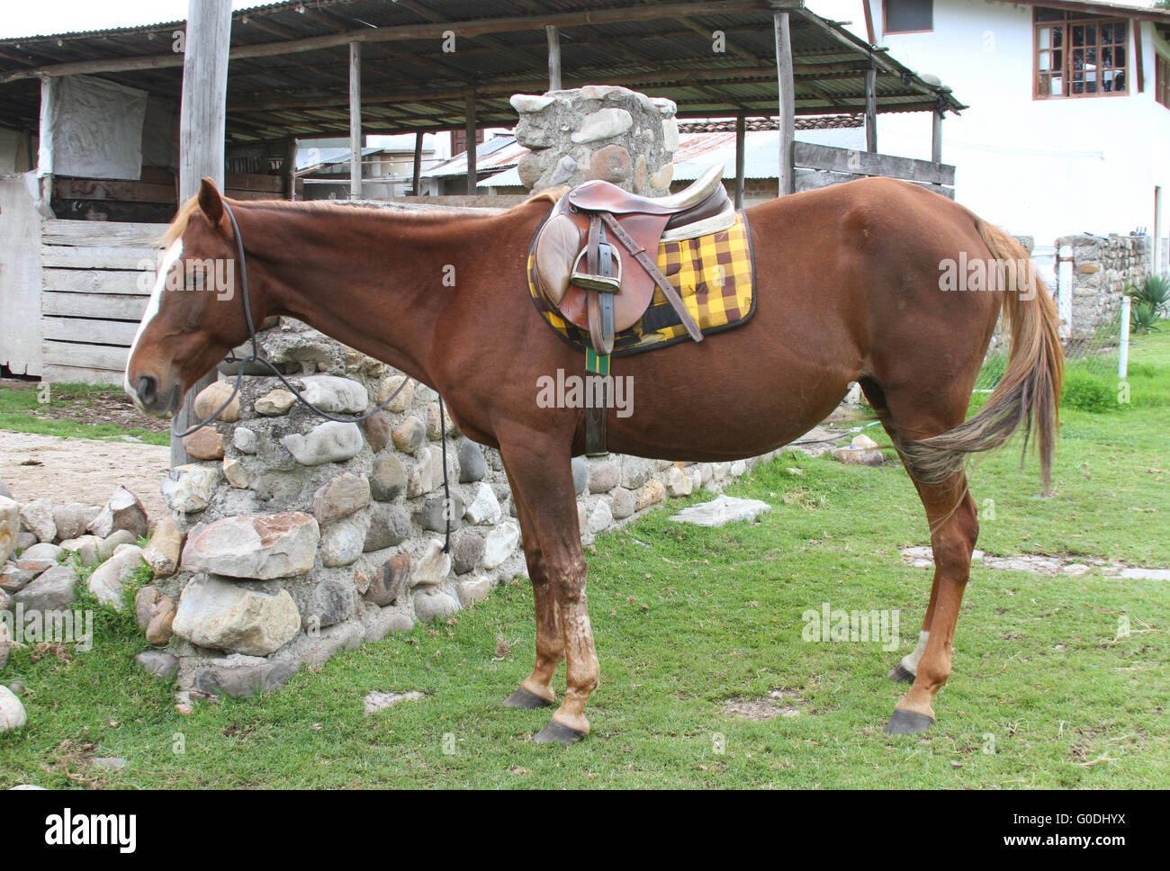 Horse being saddled up to ride English style - Stock Image