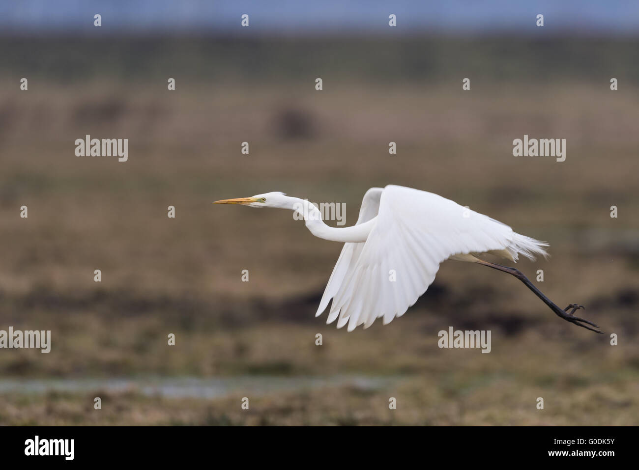 Great egret from Germany Stock Photo