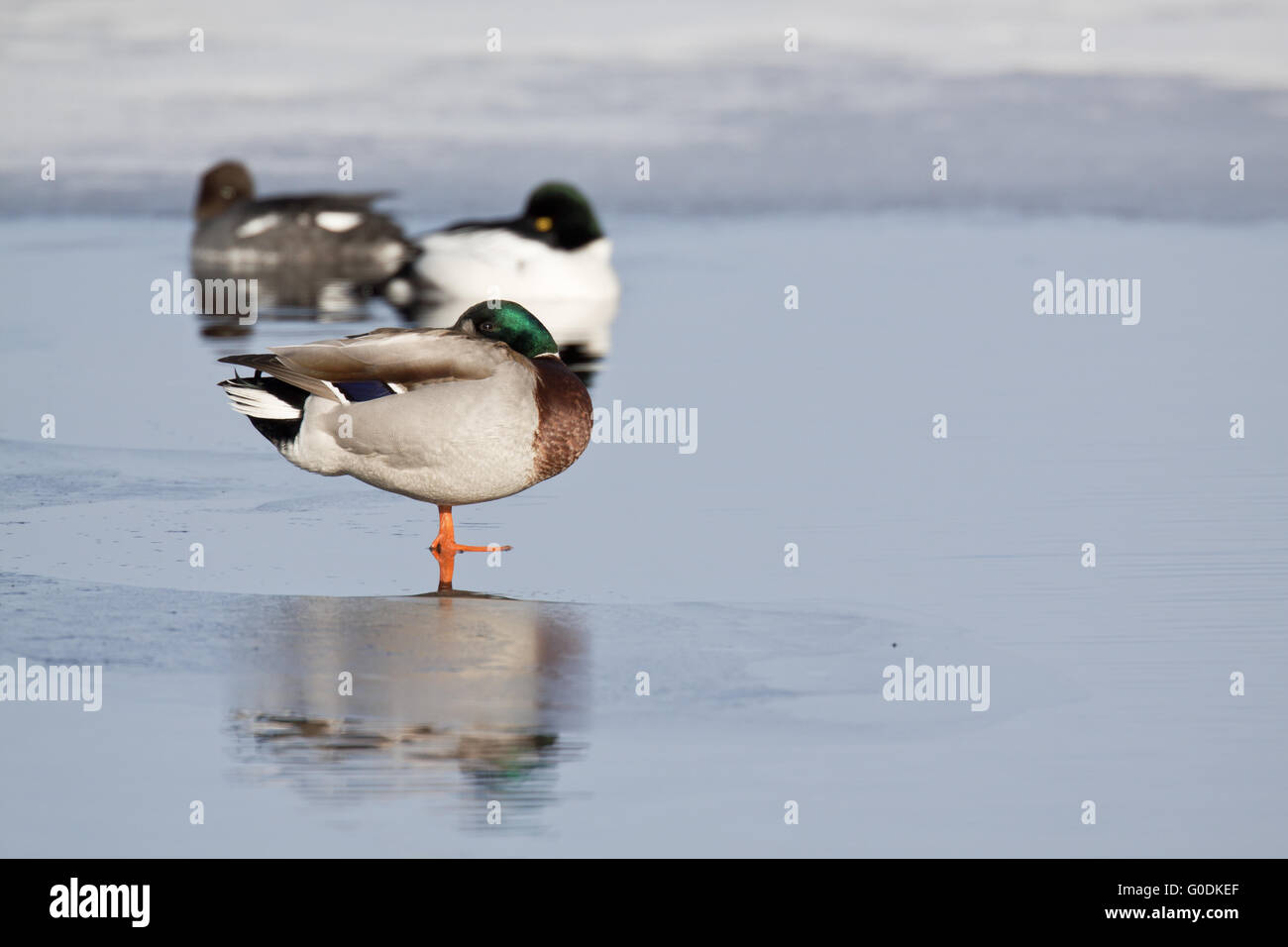 Mallard drake and Goldeneye at a hole in the ice - Stock Image