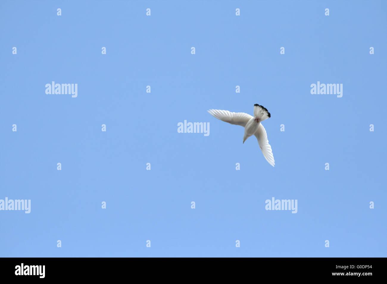 White Dove Flying - Stock Image