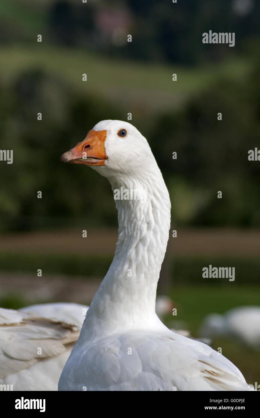 Goose running free outside - Stock Image
