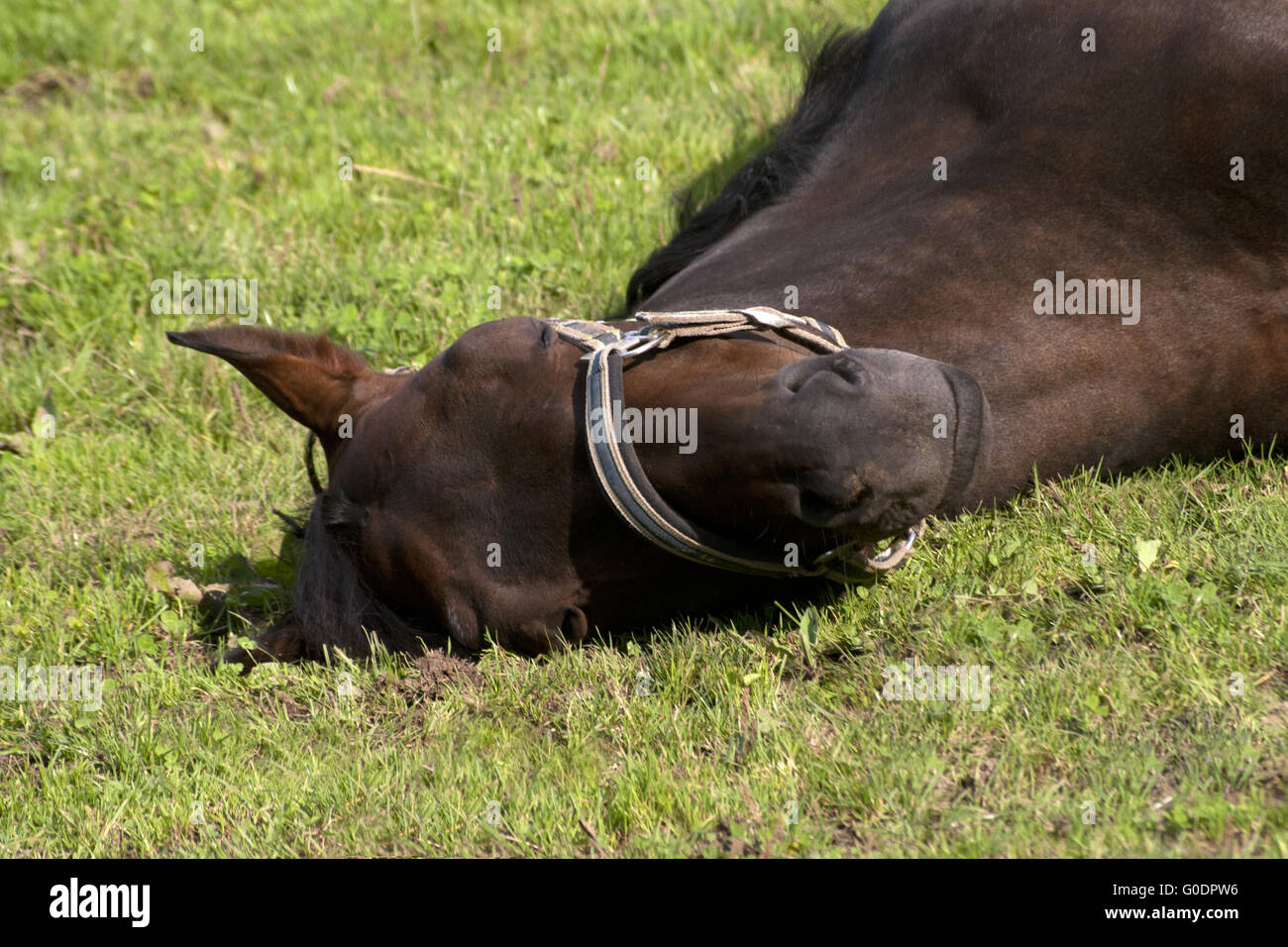Horse sleep outside on pasture - Stock Image