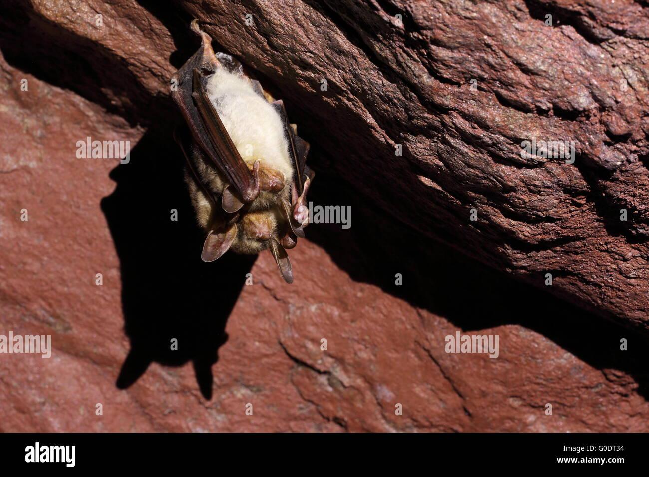 greater mouse-eared bat - hibernating in a mine ga - Stock Image