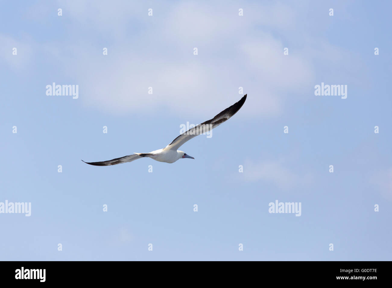 Seagull flying high up in the sky - Stock Image