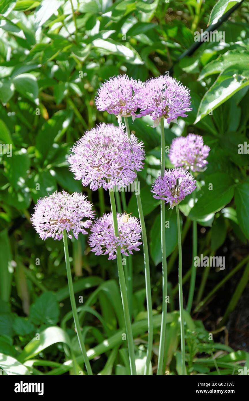 Drumstick onion Stock Photo