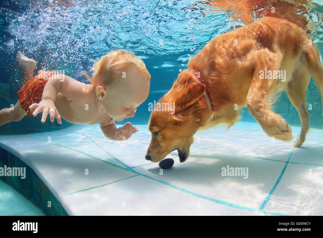 Funny little child play with fun and train golden labrador retriever puppy in swimming pool, jump and dive deep - Stock Image