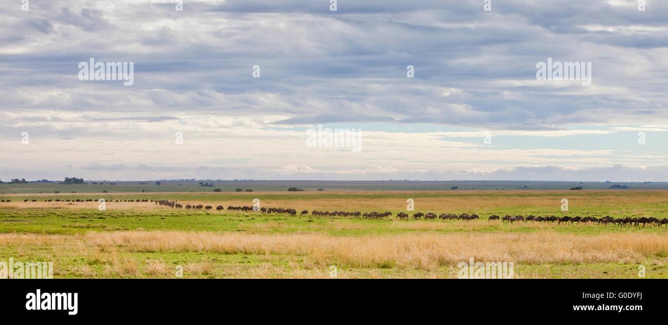 Line of wildebeest crossing Serengeti plain during annual migration, Serengeti National Park, Tanzania - Stock Image