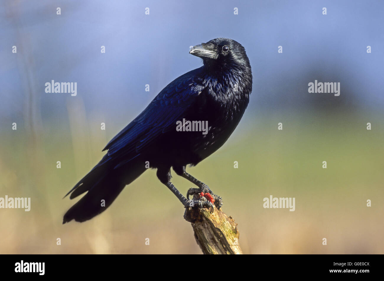 Carrion Crow sit with a piece of meat on a branch - Stock Image