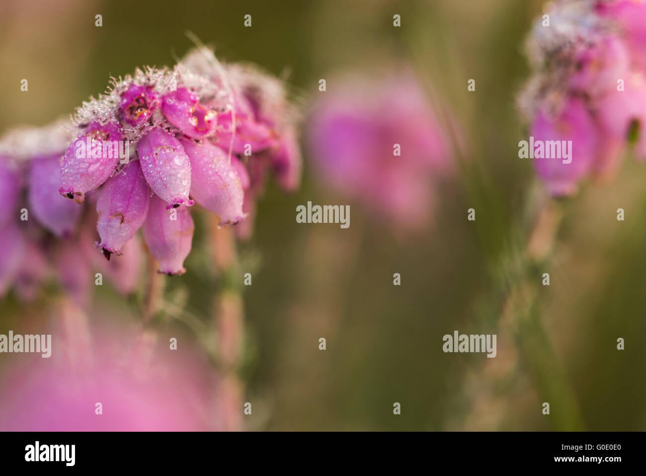 bog heather - Stock Image