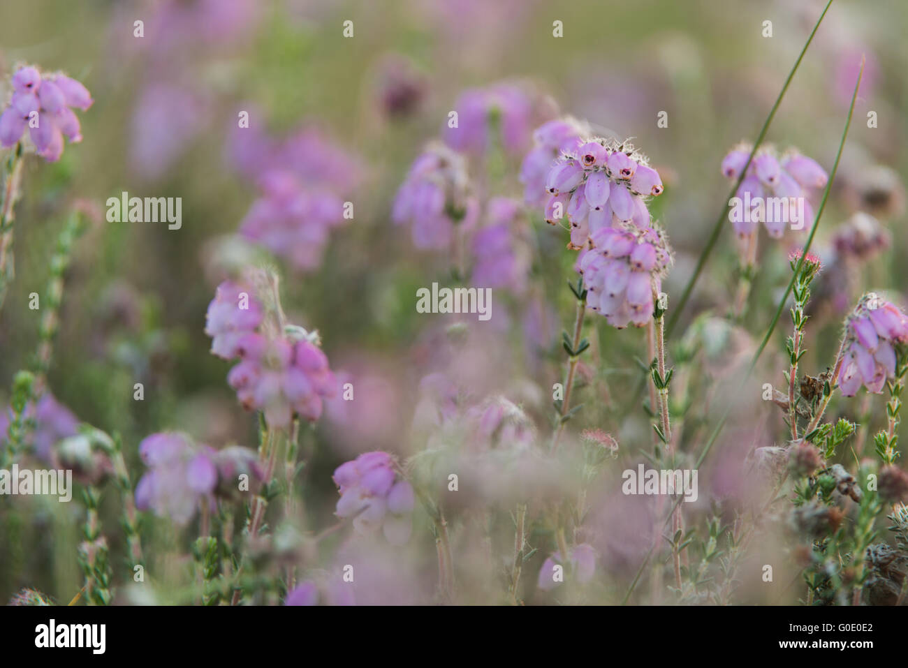 bog heather Stock Photo